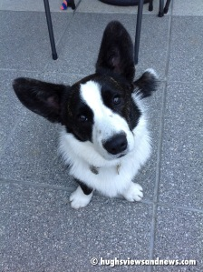 Toby - The Cardigan Welsh Corgi