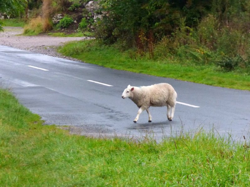 The Sheep. A Short Story by Hugh Roberts