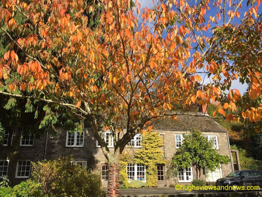 Photo of an autumnal tree in front of some houses